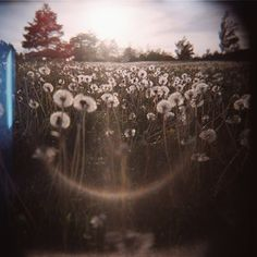 took by holga; submitted by Jenny Zink Reames    Field of dandelions in Grinnell, Iowa.
