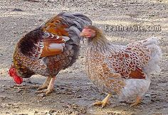 A pair of blue laced red Wyandotte bantams. Curious, friendly birds which are beautiful to look at too.