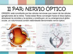 Nervio Óptico El nervio óptico se desprende del globo ocular a 3 mm medialmente y 1 mm inferiormente del polo posterior de...