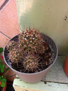 Mammillaria Mammillaris : Cactus y Suculentas de Amanecer
