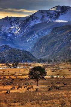 Elk, Rocky Mountain National Park, CO