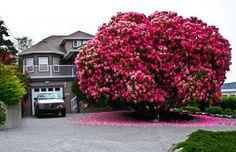 """125 + años rhododendron """"árbol"""" en Canadá.Está en un pequeño pueblo en la isla de Vancouver.... Ladysmith"""