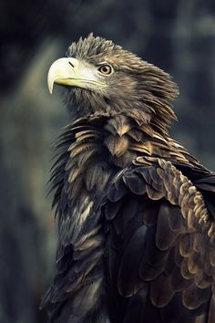 "projectdavanzo: "" White Tailed Sea Eagle """