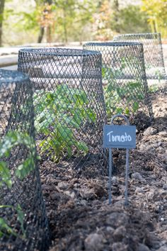 Raised Bed Garden, Tomato Plants, Dollar Store Wire Trash Cans as Cloches, Ikea Plant Markers Diy Gardening, Gardening For Beginners, Container Gardening, Bean Trellis, Garden Trellis, Tree Garden, Garden Bed, Garden Cloche, Diy Spring
