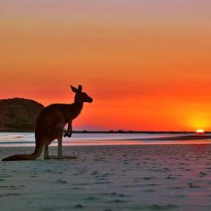 """""""Don't mind me, just soaking up the lovely view"""". @niedblog describes seeing this wallaby enjoying a breathtaking sunrise at Cape Hillsborough in Visit Mackay, Queensland, Australia as one of their most touching travel moments ever.... and yep, we can certainly see why. Wallabies head down to the beach at sunrise pretty much every morning here, so you can check it out for yourself!"""