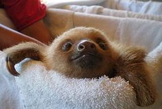 Baby Sloth Squeaking