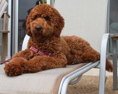 standard poodle teddy bear clip - Google Search