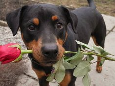 Ladieeees... Che galantuomo  #BauSocial  #cane #dog #rose #flower #puppy #cute #love #rottweiler #blackdog #colors #red #doggo #milano #sweet #italia #eyes #gift #cutedog #goodboy #smile #look