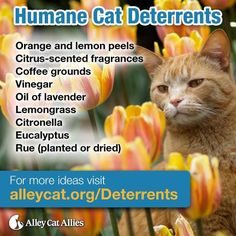 Not everyone welcomes cats in their yard—and that's okay! Humane deterrents can help keep the peace by keeping cats safe and neighbors happy. Check out these natural deterrents, and more tips at http://www.alleycat.org/Deterrents