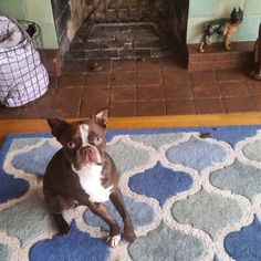 It's not my fault I pooped in front of the fireplace. It's raining! #naughtypuppy #squishyfaceproblems #squishyfacecrew #bostonterriercult #bostonterriers #dogsofinstagram #bostonterriersofinstagram #dogsofoakland #shortsnouts #bostonterriersforever #bostonterrierpuppy #bostonterrierlife #flatnoseddogsociety #poopstrike by hugotheboston
