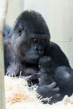 Zoo Basel's Gorilla Troop Welcomes New Baby - Neatorama Primates, Mammals, Cute Baby Animals, Animals And Pets, Funny Animals, Strange Animals, Wild Animals, Beautiful Creatures, Animals Beautiful