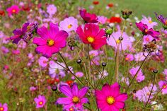 fields of cosmos Cosmos Flowers, All Flowers, Flower Landscape, Landscape Design, Garden Nursery, Beautiful Flowers Garden, Bird Tree, Outdoor Plants, Outdoor Spaces