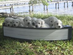 Fritz and his litter, Labrador retrievers on the Stono River in Charleston, South Carolina