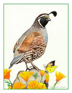 The Californians: Quail, California poppies & butterfly - 5x7 bird art print from watercolor painting, colorful bird art, California Art