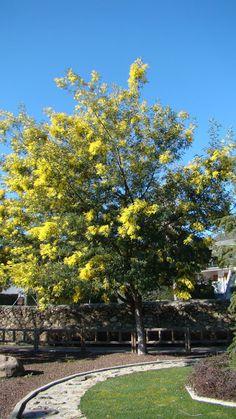 Acacia dealbata Link. en flor.  Como se puede observar en las imágenes, la Acacia dealbata Link, se encuentra en plena floración.