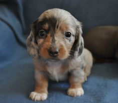 Miniature Dachshunds... well holy cow how cute are you!!!?