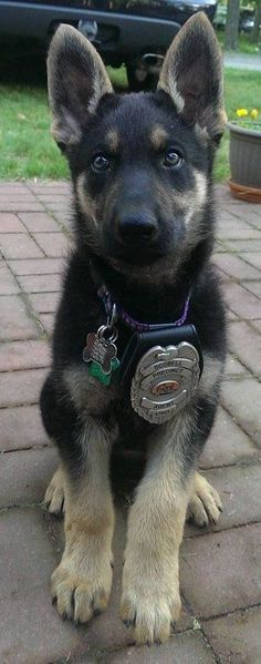 What a little beauty and future police dog...German shepherd puppy Toda la información y productos especializados para el la raza perro maltés