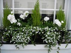Summer window box… white geranium and Bacopa Summer window box… white ge Container Flowers, Container Plants, Container Gardening, Succulent Containers, Vegetable Gardening, Balcony Planters, Window Planters, Balcony Window, Fall Planters
