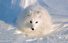 """The Arctic is mostly ice and snow with many animals. When the tundra comes many plants grow. The word """"tundra"""" means treeless plain. The growing season. Polar Animals, Polar Bear, Cute Animals, Arctic Tundra, Arctic Fox, National Geographic Kids, Majestic Animals, Fox Art, Wild Dogs"""
