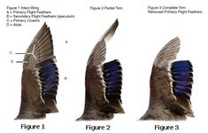 Clipping wings, because quail sure can fly: ONLY clip the primary flight feathers and clip them all. Do not clip developing (blood) feathers. Backyard Ducks, Backyard Farming, Chickens Backyard, Backyard Barn, Backyard Poultry, Chicken Hut, Chicken Nuggets, Chicken Coops, Duck Farming