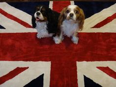 Love my cavalier king charles dogs. These here are a pair from England!