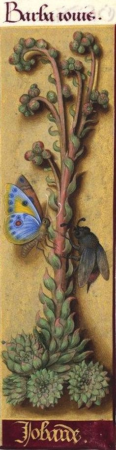 Jobarde - Barba Jovis (Sempervivum tectorum L. = joubarbe) -- Grandes Heures d'Anne de Bretagne, BNF, Ms Latin 9474, 1503-1508, f°87r
