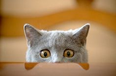 A surprised cat peeking over a table.
