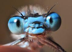 Common blue damselfly  Picture: Eddie Nurcombe