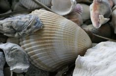 Seashell - jigsaw puzzle at www.jspuzzles.com