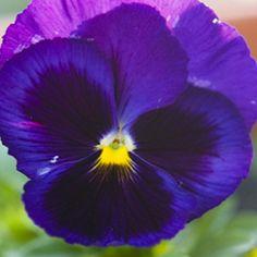 Éden - | Sementes de Flor - Amor-Perfeito Gigante Suíço Roxo: 15 Sementes