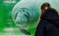Un manatí nada en su tanque del zoo de Berlin, Alemania (Paul Zinken, 2016)