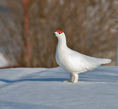Norwegian White Grouse stocks cut in half | Bird decline, insect decline and neonicotinoids
