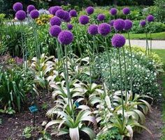 Giganteum allium is perhaps the tallest  allium , with blooms the size of a softball, it grows up to5 feet tall. Plant bulbs in the fall, for early spring Blooms