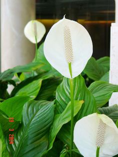 1000 Images About Indoor Tropical Plants On Pinterest