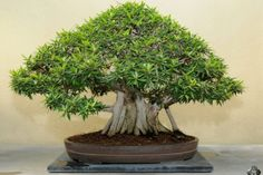 Bonsai Classi Blogger 400x285 how to grow bonsai at home?