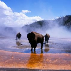 Bison at Grand Prismatic Spring. If bison could make CDs, this would be their album cover... So dramatic.