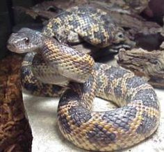 The Rat Snake