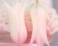 Tulipa #flower