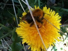 Early spring slow bumble bee