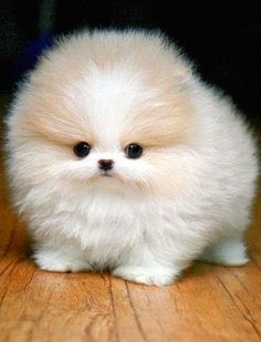 I Love all Dog Breeds: 5 Sweetest Teacup puppies you have ever seen #5