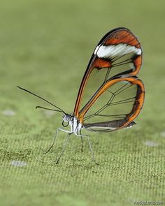 Glasswing Butterfly - Beautiful and fucking trippyyyyy why cant we have cool stuff like this