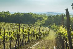 Vineyard in Lower Austria Austria, Vineyard, Landscapes, Outdoor, Royalty Free Images, Paisajes, Outdoors, Scenery, Outdoor Life