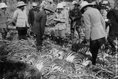 How times change ...   George V (1865–1936) with the day's bag of three tigers, after a hunt during the Durbar celebrations. The hunters are mounted on elephants. (Photo by Hulton Archive/Getty Images). 1911