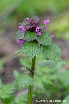 Lamium purpureum paarse dovenetel VERPLICHT