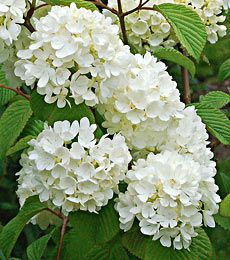 78 best spring shrubs bushes images on pinterest flowering viburnum plicatum popcorn in spring the branches of this japanese snowball viburnum plicatum are packed with round clusters of white blossoms mightylinksfo