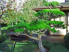Садовый бонсай из сосны