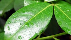 Shine the leaves of your houseplants naturally.