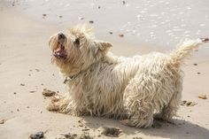 Cairn Terrier | by lledsrow