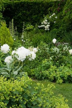 Just because alchemillia mollis (milly, molly mandy, to her friends,) spreads, don't undervalue her. What she lends to flower arrangements is pure Gold. Peonies & lady's mantle in full flower