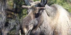 La faune sauvage Yukon Alaska, Labrador, Canada, Horses, Animals, Usa, Red Fox, Wild Animals, Switzerland